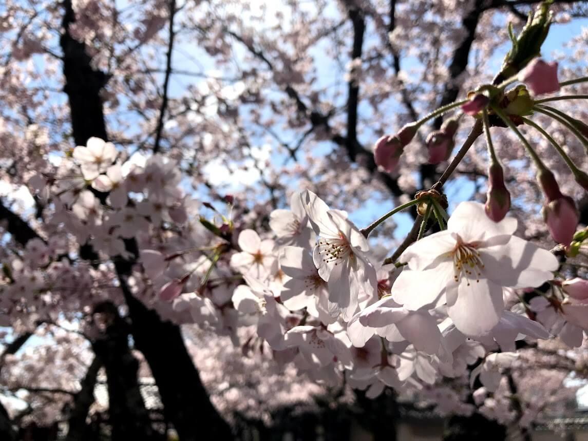 教信寺の桜