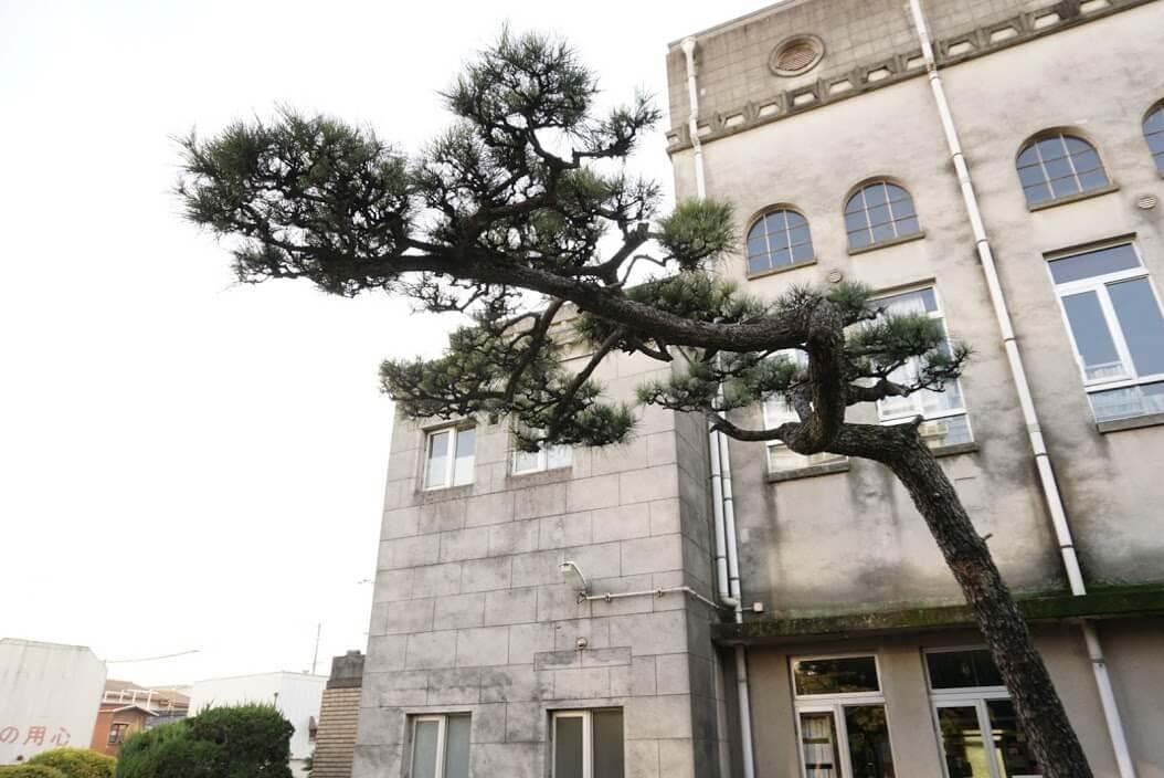 加古川図書館横の松